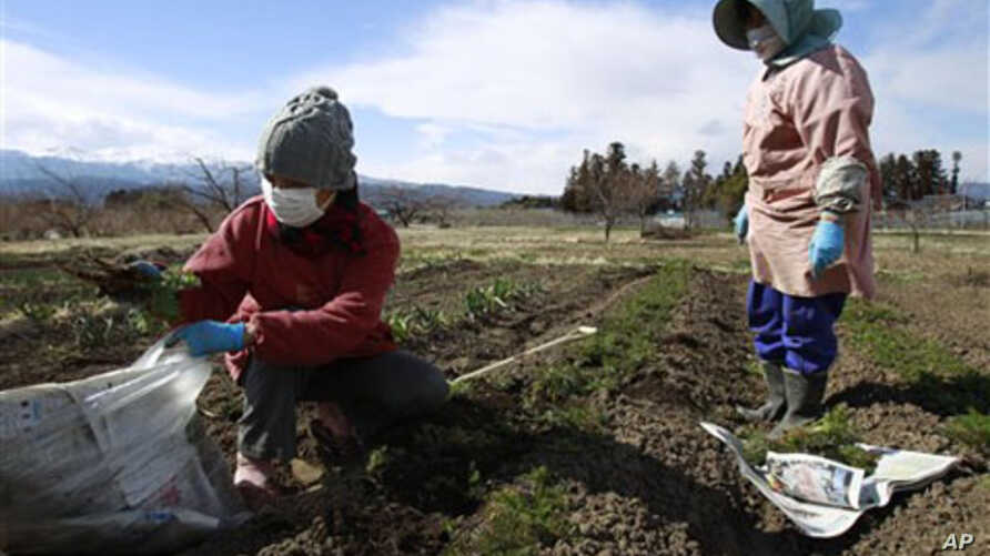 Farmer Sumiko Matsuno, left, and her friend, bag carrots on her farm to eat as she fears no one will buy them with the current radiation fallout in Fukushima, Fukushima prefecture, Japan, March 24, 2011. (file photo)