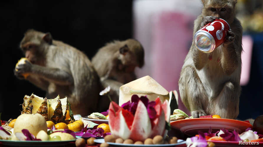 Long-tailed macaques drink and eat items offered to them during the annual Monkey Buffet Festival at the Pra Prang Sam Yot temple in Lopburi, 150km north of Bangkok, Nov. 27, 2011.