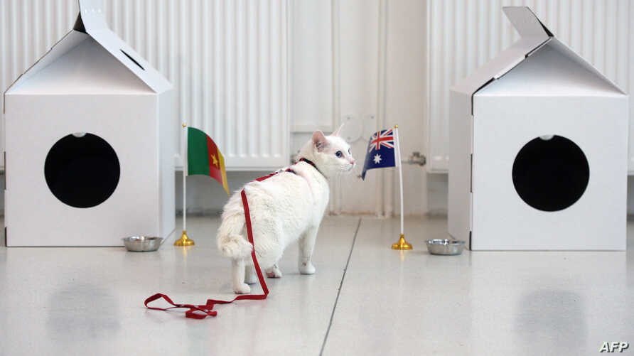 FILE - Achilles the cat approaches an Australian national flag during a prediction event of the results of the 2017 FIFA Confederations Cup group B football match between Cameroon and Australia, in Saint Petersburg, June 22, 2017.