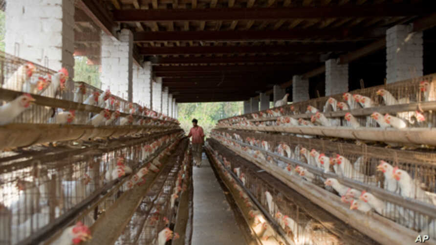 Most eggs in India come from intensive facilities, not roaming village chickens, a transition which is happening in much of the developing world.