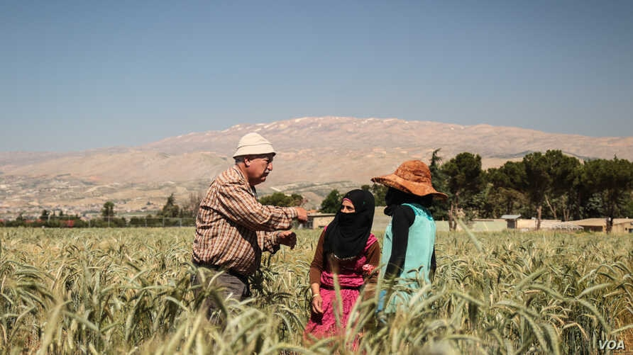 Crops are harvested in fields at the International Center for Agricultural Research in the Dry Areas, or ICARDA, site in Terbol, Bekaa Valley. (J.Owens/VOA)