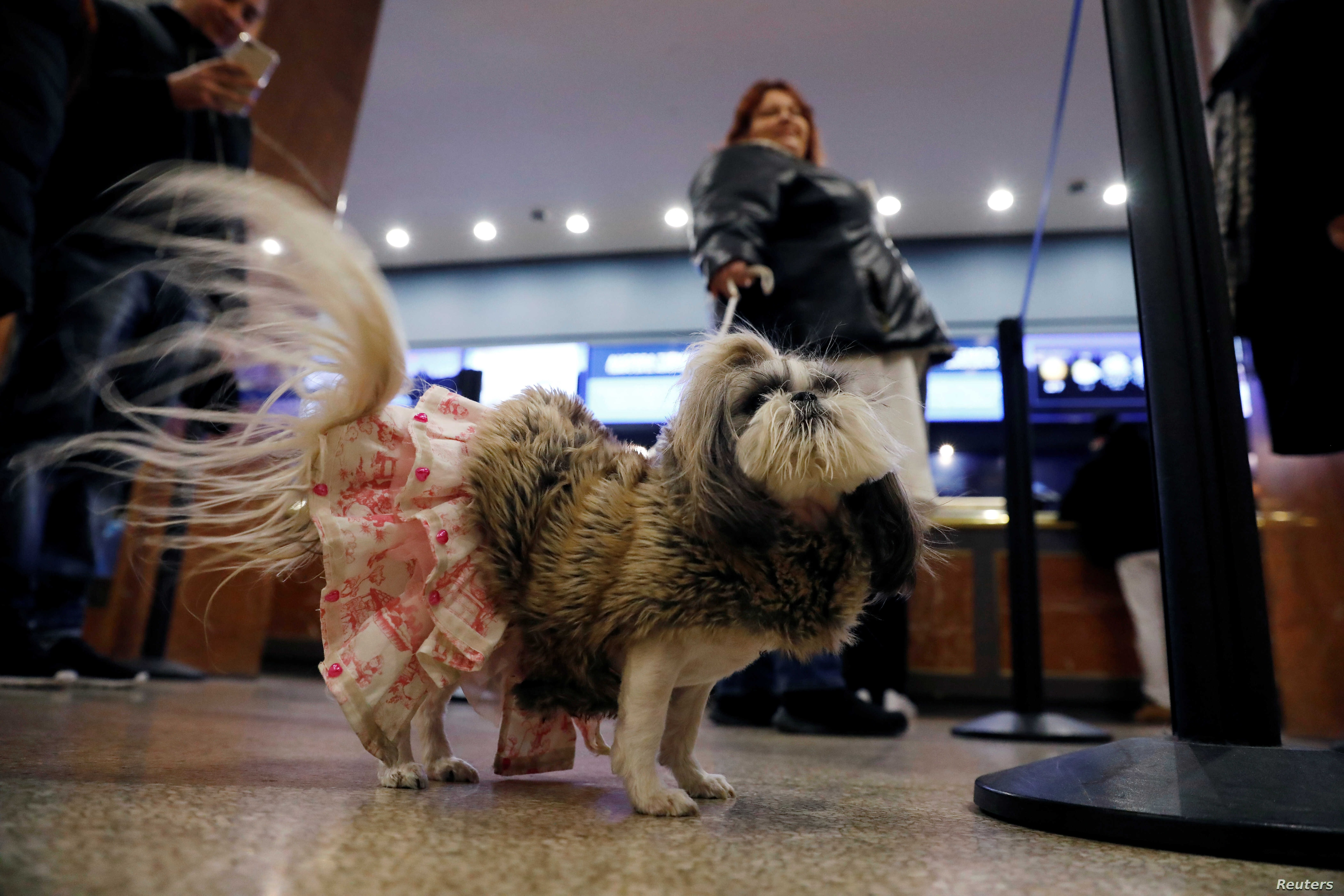 Her Majesty Briee Bride Elizabeth, an Imperial Shih Tzu breed, stands in the lobby after arriving at the Hotel Pennsylvania ahead of the 142nd Westminster Kennel Club Dog Show in midtown Manhattan, New York City, U.S., Feb. 9, 2018.