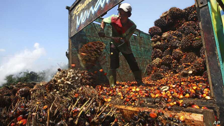 FILE - A worker unloads palm fruits at a palm oil processing plant in Lebak, Indonesia, June 19, 2012.