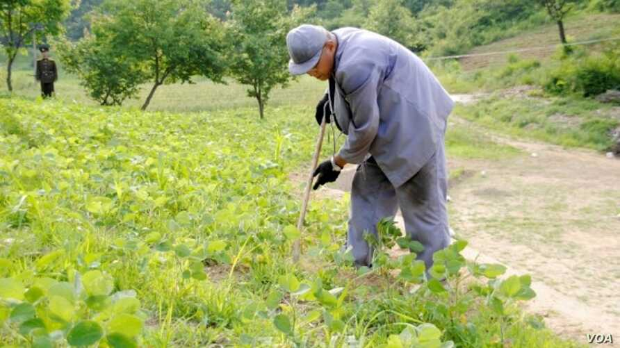 Image of Kenneth Bae published by Japanese newspaper Choson Sinbo as he works on a farm with a North Korean guard watching, June 2013.