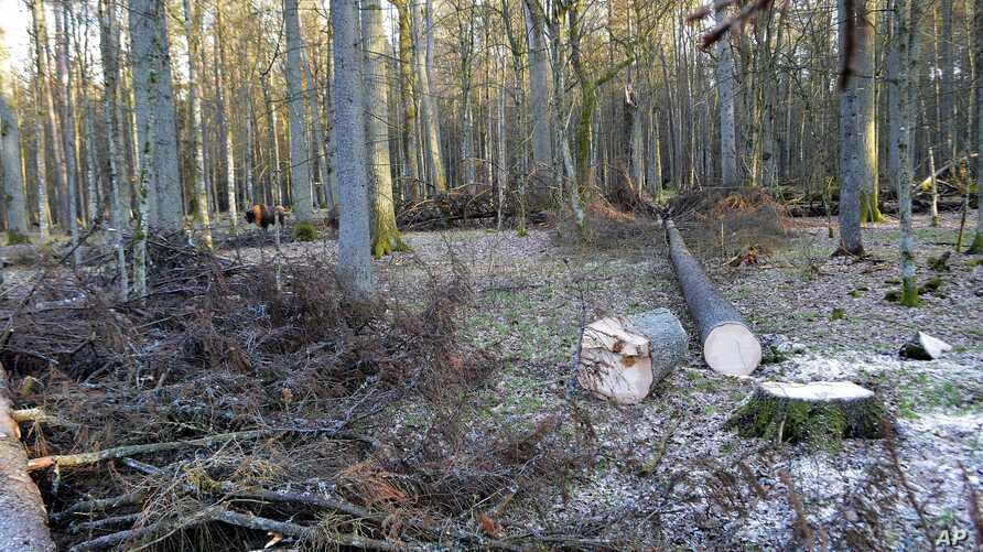 FILE - In this photo taken March 24 , 2017 in the Bialowieza Forest, in Poland, a bison stands next to fir trees that have been logged.