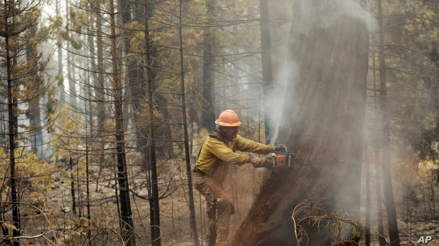 Pat Campbell, of Callahan, Calif., cuts down a tree damaged by the Eiler Fire, Monday, Aug. 4, 2014.