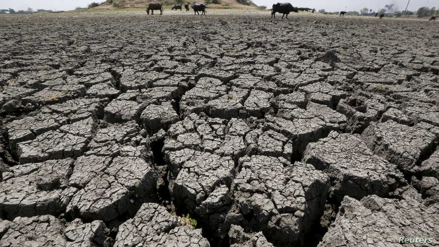 FILE - Buffalos graze in dried-up Chandola Lake in Ahmedabad, India, March 30, 2016. A years-long drought in India is starting to take a toll on 330 million of the country's residents as people suffer from water shortages.
