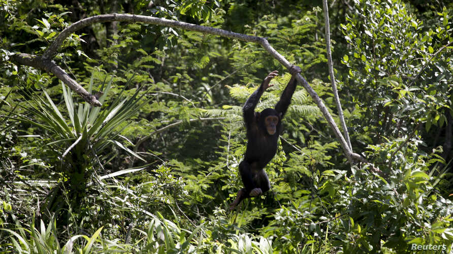 FILE - A chimp swings from a branch at the Jane Goodall Institute Chimpanzee Eden sanctuary, 15 kilometers south of Nelspruit, South Africa.