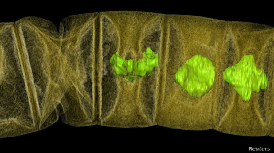 An X-ray tomographic picture of fossil thread-like red algae, tinted to show detail, unearthed in central India may represent the oldest-known plants on Earth, dating from 1.6 billion years ago, according to research published in the journal PLOS Bio