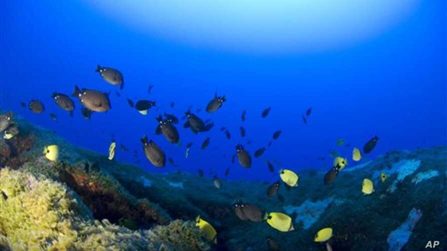 Fish swim around a deep coral reef at Pearl and Hermes Atoll in the Northwestern Hawaiian Islands.