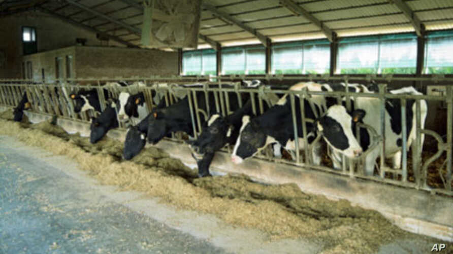 Animals in many large livestock-raising operations around the world get a small but steady dose of certain antibiotics in their feed.