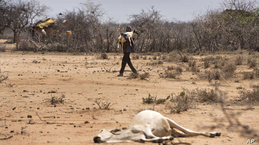 A man carries his sheep past the carcass of a dead cow in the drought-affected village of Bandarero, near Moyale town on the Ethiopian border, in northern Kenya, March 3, 2017.