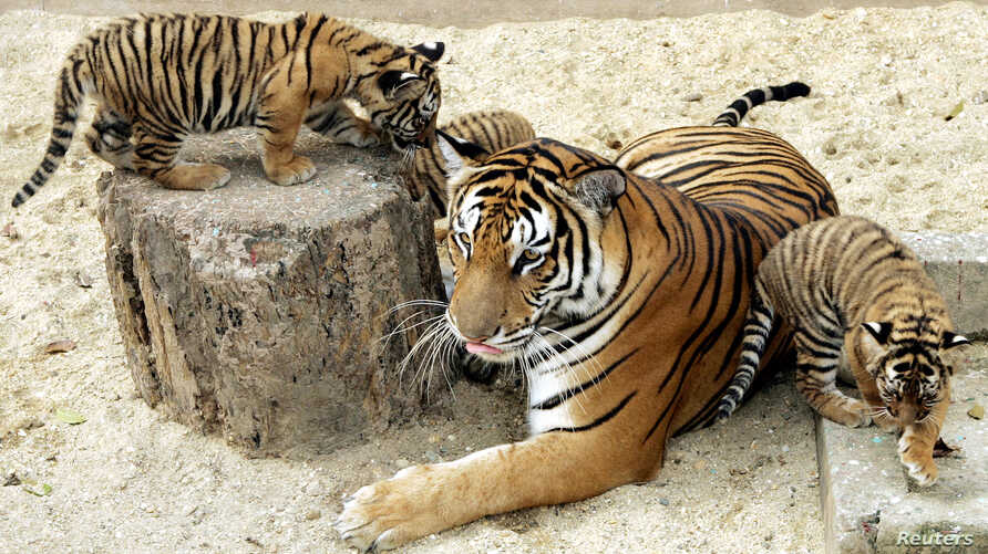 FILE - Two-month-old Indochinese tiger cubs play with their mother inside their cage at the Hanoi Zoo, March 2007.