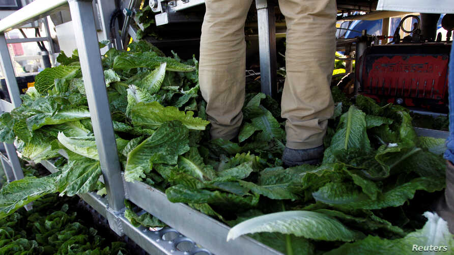 A crewmember stands in a pile of discarded romaine lettuce leaves while working near Soledad, California, May 3, 2017. An E.coli outbreak linked to romaine lettuce grown in Yuma, Ariz., has left five people dead.