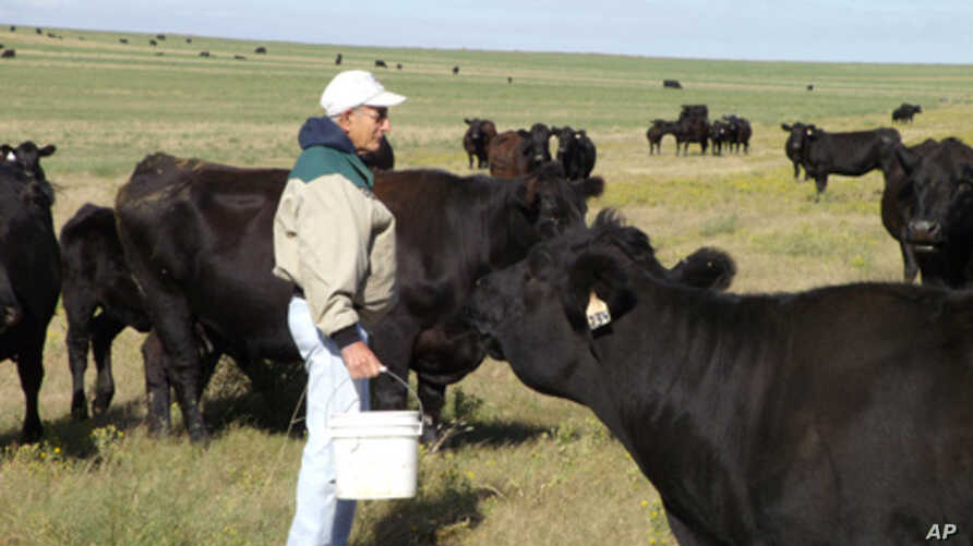 Brother Placid Gross has cared for the Assumption Abbey cattle herd for 50 years.