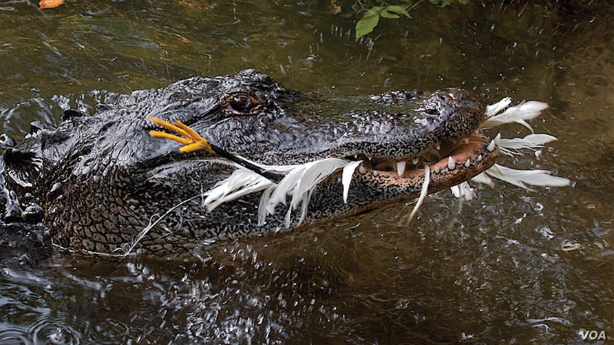 An American alligator chomps a snowy egret at the  St Augustine Alligator Farm Zoological Park, Florida. (Don Specht)