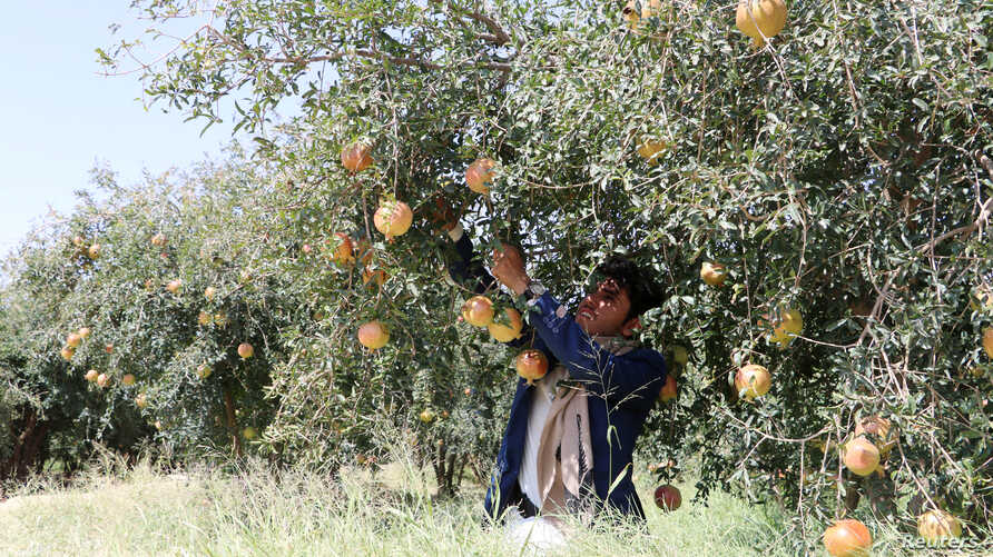 FILE - A farmer cultivates pomegranates at a farm in Saada, Yemen, Sept. 27, 2018.