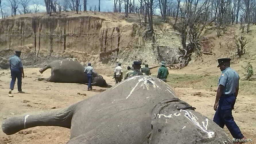 FILE - A group of elephants, believed to have been killed by poachers, lie dead at a watering hole in Zimbabwe's Hwange National Park Oct. 26, 2015.