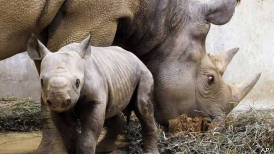 A black rhinoceros calf born at a zoo stays close to his mother (File)