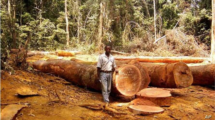 In this undated handout photo provided by ITTO (International Tropical Timber Organization) website, a man is seen standing in a clearing in tropical forest  in an unknown location in Cameroon, Africa.  Large swaths of the world's tropical forests ha