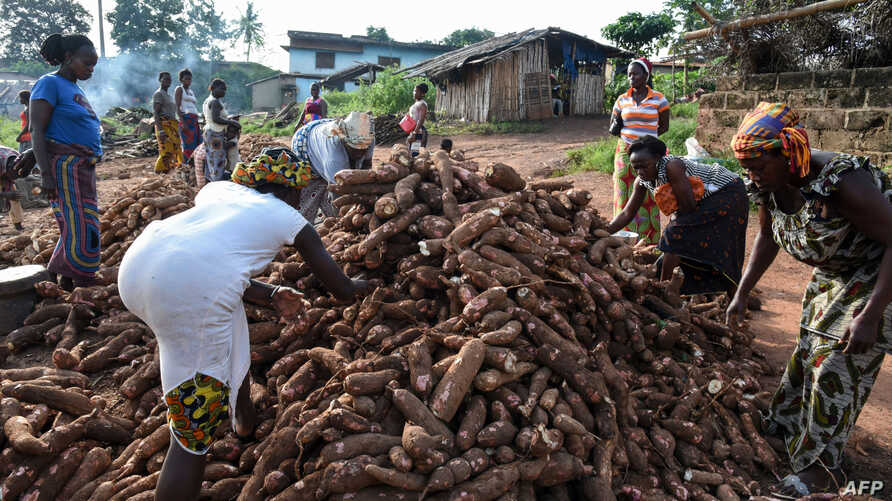 """Women select cassava tubers (manioc), on a production site of """"attieke"""", a side dish made from cassava, in Affery, Ivory Coast, June 18, 2018."""