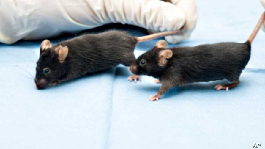 Researchers believe activity and interaction activated a communication channel in mice that prompted fat cells to stop releasing a hormone which accelerates cancer growth.