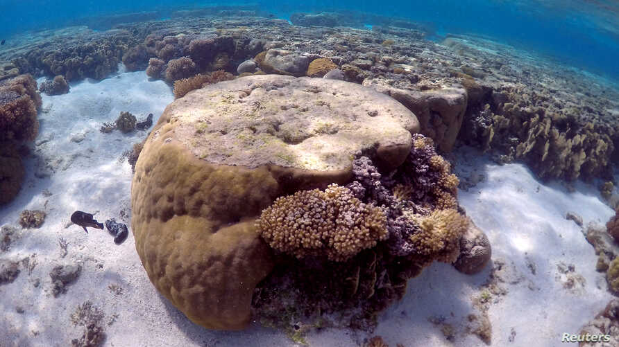 A large piece of coral can be seen in the lagoon on Lady Elliot Island, on the Great Barrier Reef, northeast of Bundaberg town in Queensland, Australia, June 9, 2015.