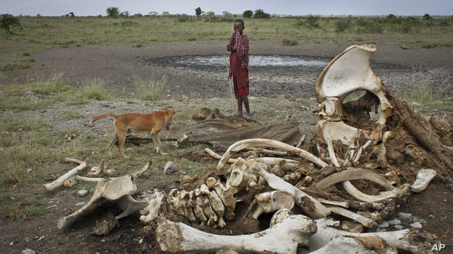 FILE - A Maasai boy and his dog stand near the skeleton of an elephant killed by poachers outside of Arusha, Tanzania.