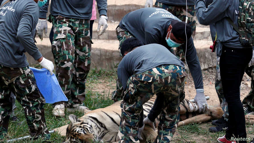 A sedated tiger is stretchered as officials start moving tigers from Thailand's controversial Tiger Temple, a popular tourist destination which has come under fire in recent years over the welfare of its big cats in Kanchanaburi province, west of Ban