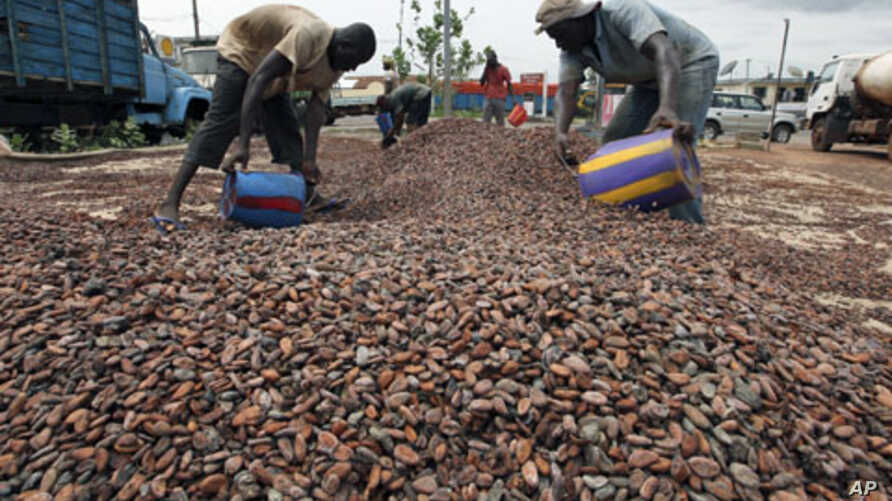 Workers gather cocoa beans in Duekoue, Ivory Coast, May 18, 2011.