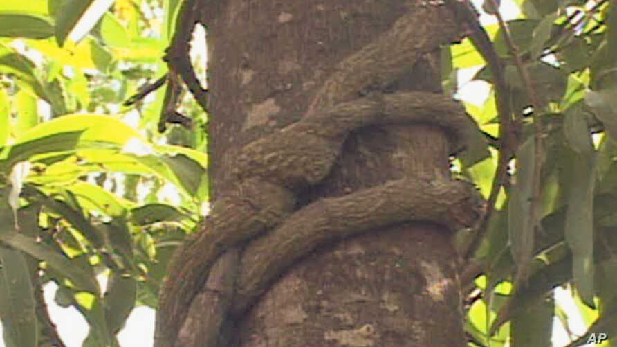 Mondia, found in Kakamega Forest, is a vine that has for centuries been used as a flavoring agent and medicine