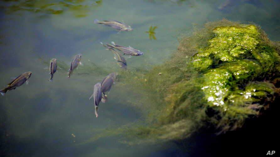 FILE - Fish swim around a glob of green algae along the new Museum Reach of the River Walk in San Antonio, Tuesday, July 14, 2009.