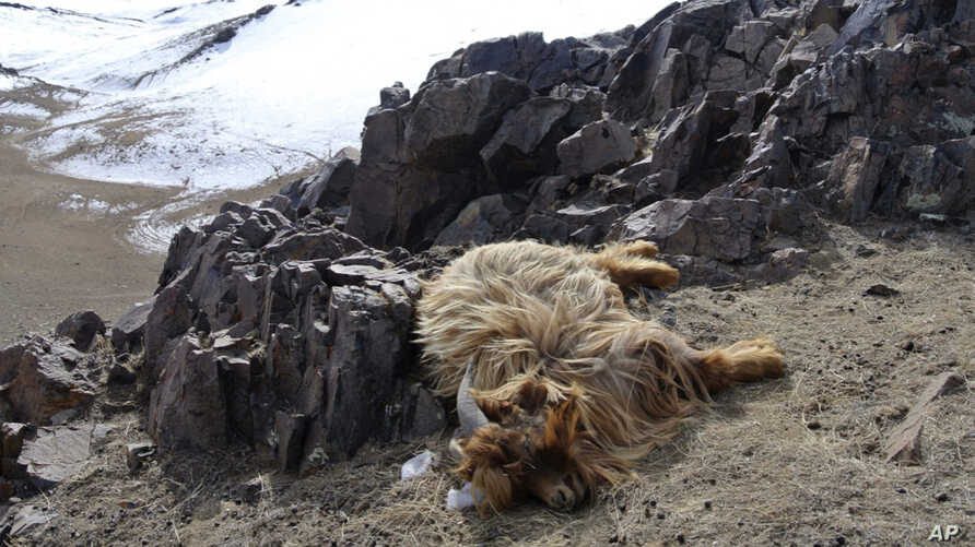 FILE - An abandoned dead goat that is part of the livestock of Huyag Tserennyam, a herder, lies on a hill side in the Ulziit district of Bayankhongor in Mongolia, Feb. 17, 2016.