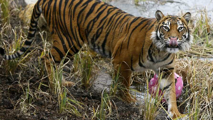 FILE - Melati, a female Sumatran tiger, is pictured after eating a snack of a dead rabbit hidden in a papier mache Easter egg, at the London Zoo, March 27, 2013. Melati was fatally attacked Feb. 8, 2019, by a tiger brought to the zoo to become her ma