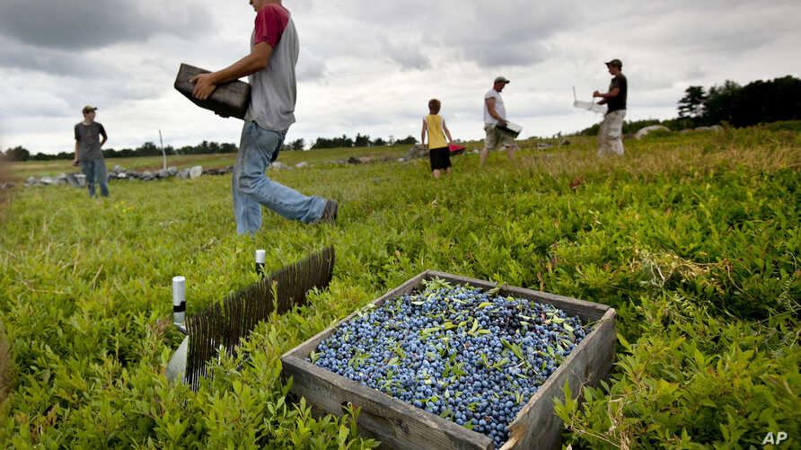 FILE - Workers harvest wild blueberries at the Ridgeberry Farm in Appleton, Maine, Friday, July 27, 2012.
