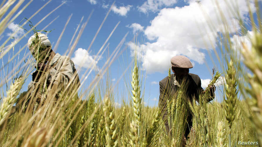 Ethiopian farmers Mandefro Tesfaye (L) and Tayto Mesfin collect wheat in their field in Abay, north of Ethiopia's capital Addis Ababa, October 21, 2009.