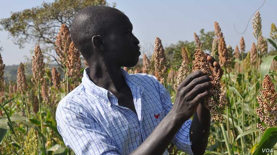 A farmer looks at a sprig of sorghum, called dura in South Sudan.
