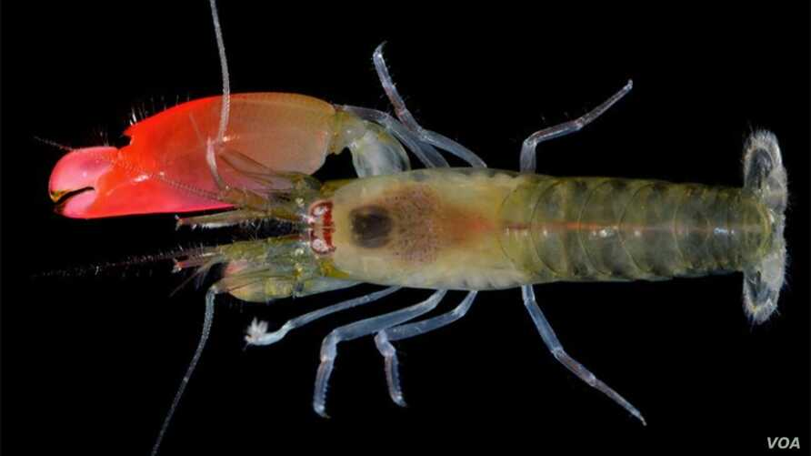 A newly discovered type of shrimp has been named after the rock band Pink Floyd. (Oxford University of Natural History)