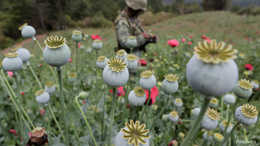 FILE - A soldier stands guard beside poppy plants before a poppy field is destroyed during a military operation in the municipality of Coyuca de Catalan, Mexico, April 18, 2017.