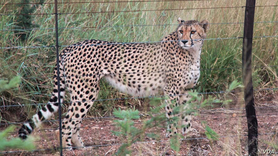 Fences block many of the hunting routes for cheetahs. Credit: John Wilson