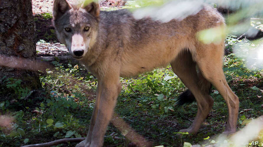 FILE - This undated file photo provided by the Oregon Department of Fish and Wildlife shows a young wolf. Two wolf pups have been seen near Mount Hood, marking the first known reproduction by wolves in the northern part of the Cascade Mountains in Or