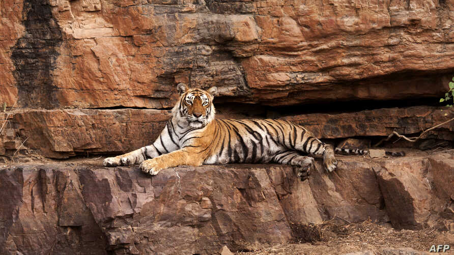 India's most famous tiger, Machali, is pictured in this undated photograph at Ranthambore National Park in western Rajasthan state.