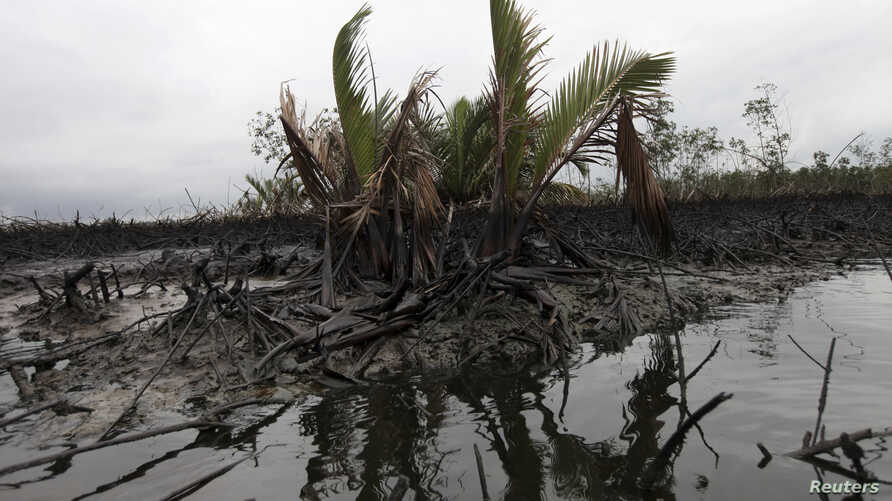 Oil slick flows at the base of the mangrove at Bodo creek, outside Nigeria's oil hub city of Port Harcourt August 2, 2012. Prosperity has flowed from Ogoniland, one of Africa's earliest crude oil producing areas, for decades. But it has flowed to the