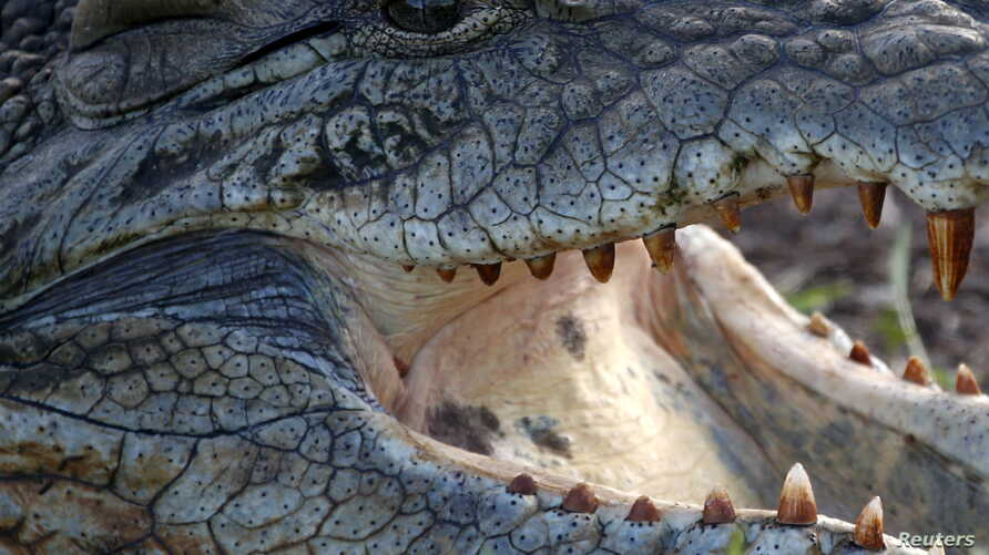 A crocodile is pictured at the Nairobi National Park outside the Kenyan capital Nairobi April 6, 2015. Hoteliers from Kenya's Indian Ocean coast region and sprawling game park reserves said tourists have started cancelling trips to the east African n