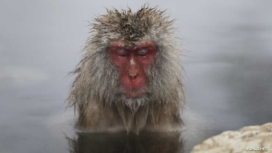 A Japanese Macaque (or Snow Monkey) soaks in a hot spring at a snow-covered valley in Yamanouchi town, central Japan January 20, 2014.