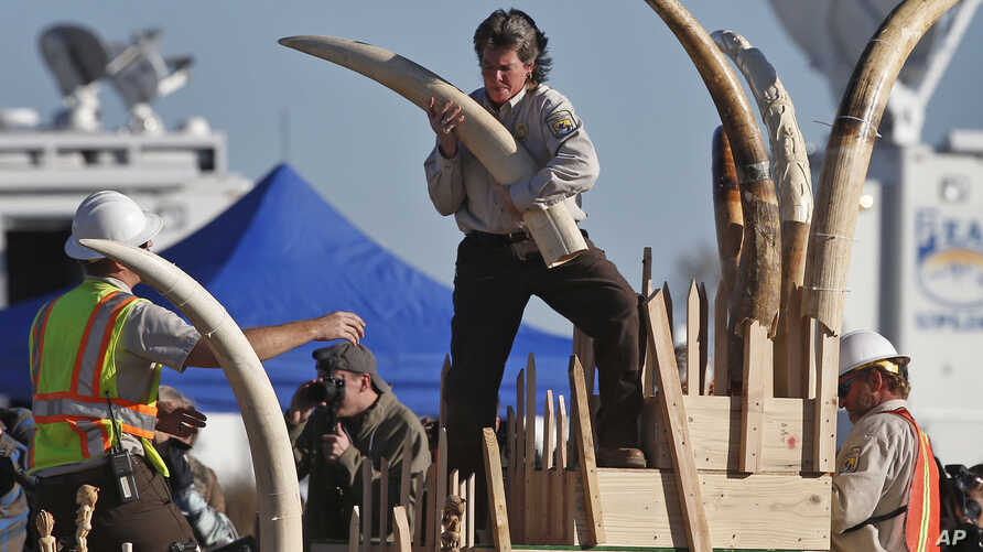 U.S. Fish and Wildlife Service officers carry confiscated ivory to a crusher to be pulverized, at the National Wildlife Property Repository, at Rocky Mountain Arsenal National Wildlife Refuge, in Commerce City, Colo., Nov. 14, 2013.