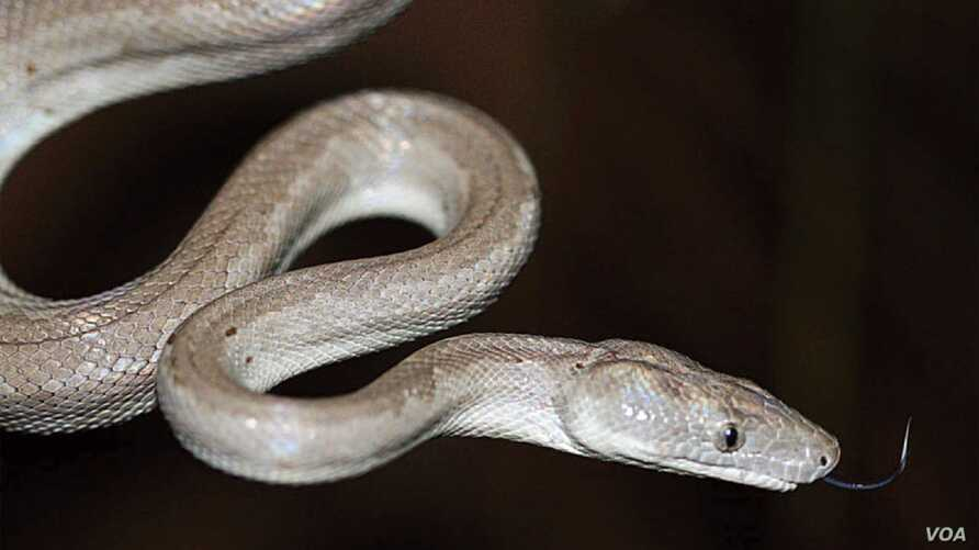 A close up of the new Conception Bank silver boa.   Image Credit Graham Reynolds