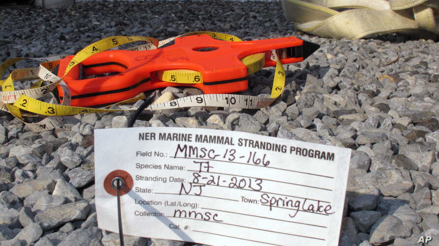 An Aug. 21, 2013 photo shows an identification tag for a dolphin that had died on the Spring Lake N.J. beach and was brought to the Marine Mammal Stranding Center in Brigantine, N.J. for examination.