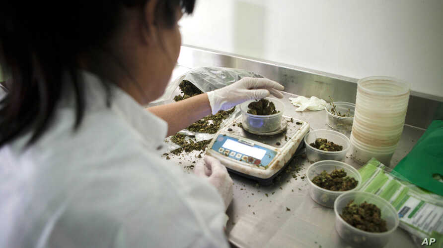 FILE - An Israeli woman works at Tikkun Olam medical cannabis farm, near the northern Israeli city of Safed, Israel, Nov. 1, 2012. Late Tuesday, Dec. 25, 2018, Israel's parliament unanimously approved a law to permit exports of medical marijuana.