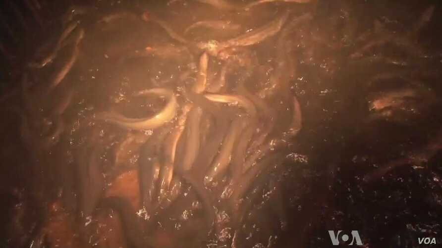 Eels Are on Slippery Slope in East Asia